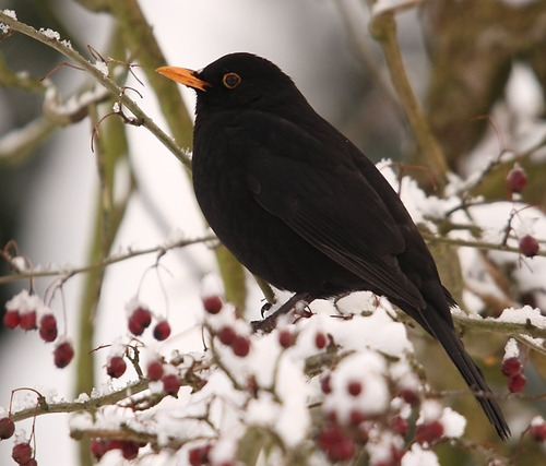 Common_Blackbird_by_Marco_Hebing_m