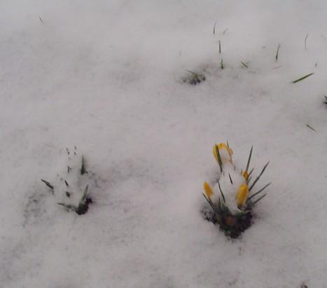 crocus neige