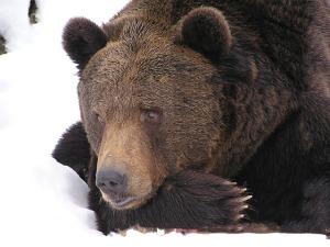 bear-99585_640