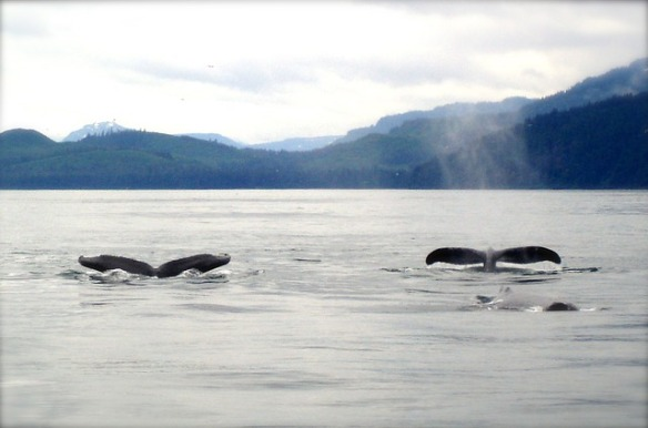 whales-19192_640