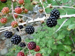 blackberries-263313_640