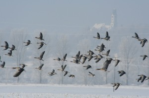 wild-geese-418025_1280