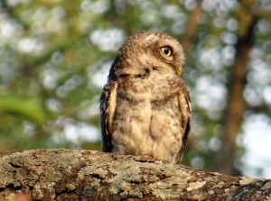 spotted-owlet-324009_1280