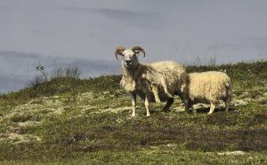 sheep-492868_1280