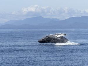 humpback-whale-436118_1280
