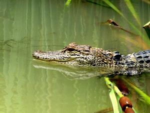 alligator-52684_1280