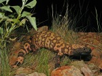 reticulate-gila-monster-86618_1280