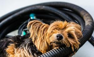 yorkshire-terrier-396994_1280