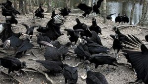 vultures-886483__180