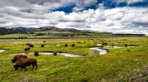 buffalo-1730075_1280