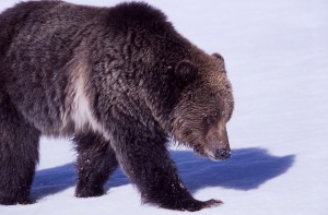 grizzly-bear-1106384_960_720