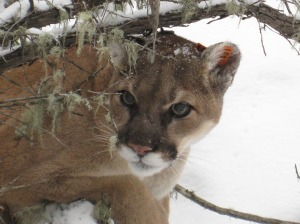mountain-lion-938474_960_720