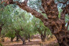 olive-grove-4955574_640