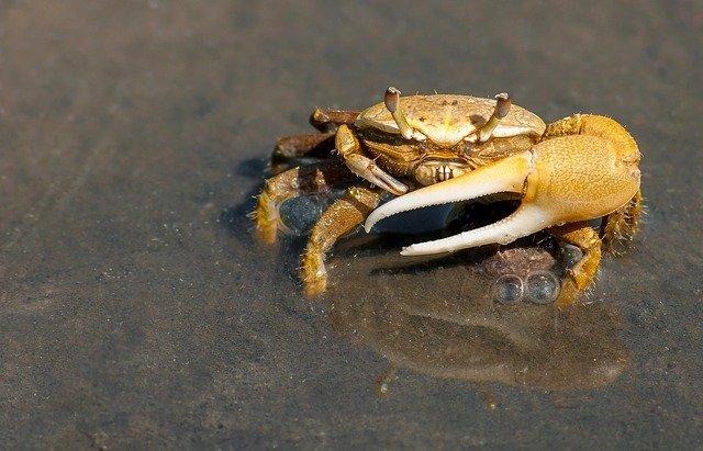 crab-79156_640